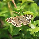 Basking Butterfly by Dave Godden