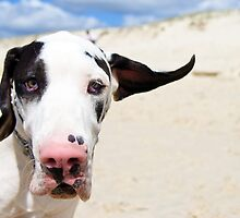 Ingo the Great Dane by Charlotte Reeves