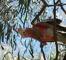 Galah bird by solena432