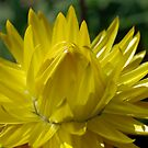 Yellow Flower by gillyisme53