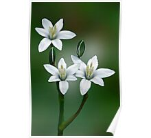 Star of Bethlehem Wildflower Poster