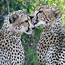 Cheetah Brothers by Michael  Moss