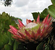 King Protea by Robert Jenner