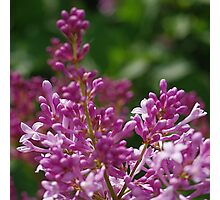 Rosy-lavender lilac blossom Photographic Print