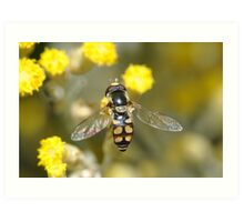 Hoverfly on curry bush flowers Art Print