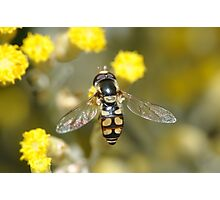 Hoverfly on curry bush flowers Photographic Print
