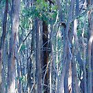 """Blue"" Gums...Upper Loddon State Forest. by Meg Hart"