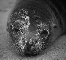 Sea lion by becks78