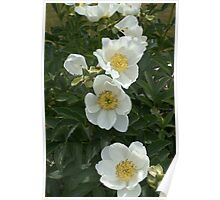 White and Lovely Flowers Poster