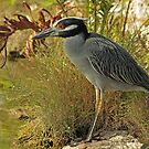 Yellow-Crowned Night Heron by Robert Abraham