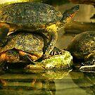 Three Turtles by kellimays