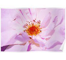 Bulgarian Oleaginous Rose, used in perfume industry Poster