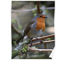 Robin Red Poster