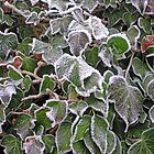 """Frost on ivy (Hedera Colchica """"Dentata"""") by Philip Mitchell"""