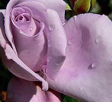 Lavender Rose by DeerPhotoArts