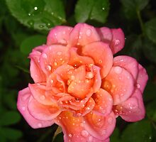 Tea Rose on a Rainy Day by jsmusic