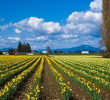 Skagit Daffodils by RavenFalls