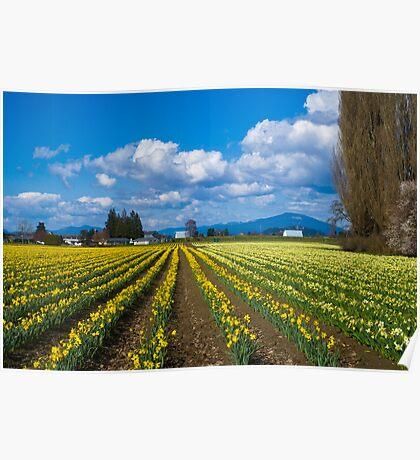 Skagit Daffodils Poster