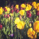 Tulip Dream by Katayoonphotos