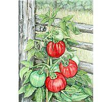 Tomato Plant Photographic Print