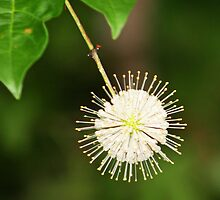 Snowball flower by serendipity3