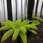 Fog,n Fern. Dicksonia Antarctica. by Donovan wilson
