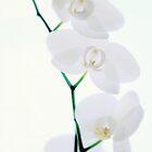 White Phalaenopsis Orchid by Nugrahini Tj.