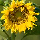 sunflower by Leon Homan