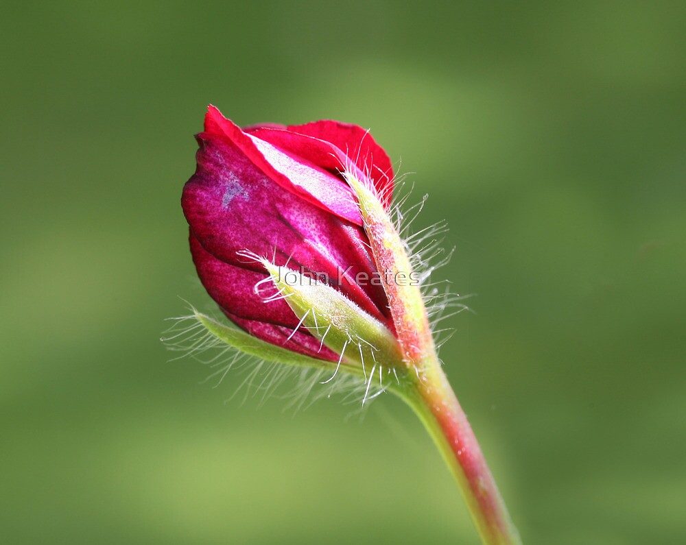Pelargonium bud by John Keates