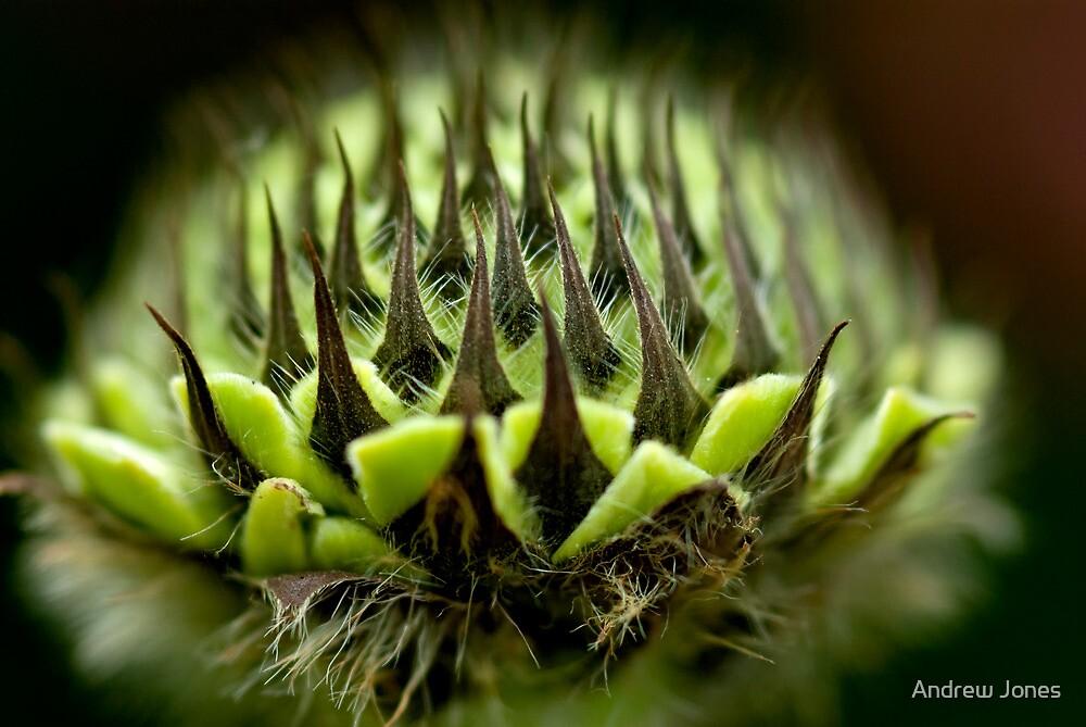 Flower head macro, Scabiosa Caucasia by Andrew Jones