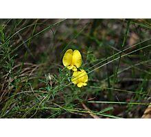 Gompholobium huegelii - Pale Wedge Pea  Photographic Print