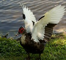 The Muscovy Duck drying off by enyaw
