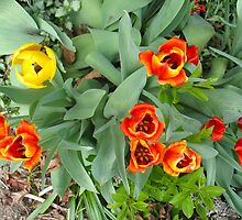 Tooting Tulips by MarianBendeth
