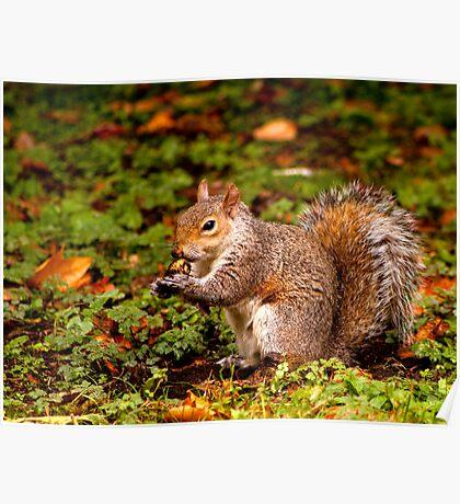 Grey squirrel, St James' Park, London, autumn Poster