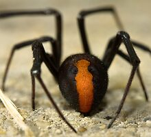 Redback Spider by Arek Rainczuk