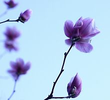 Magnolia Haiku by Christopher Paquette