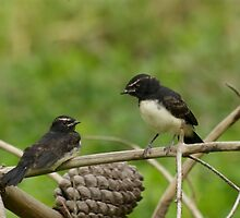 Willy Wagtail Fledglings by Tamara  Kenneally