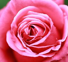 Pink Rose by Leesa Harrison