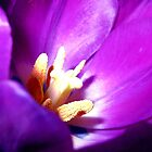 Purple Tulip by Jessica Manelis