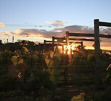 First light over the vines, Moorilla by Leesa Harrison