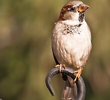 House Sparrow on Hook by (Tallow) Dave  Van de Laar