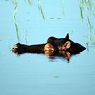 Hippo - Botswana by roan