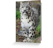 Baby Snow Leopard: Stare Greeting Card