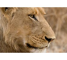 Young Male Lion  Photographic Print