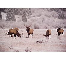 Bull Elk, Rocky Mountain National Park Photographic Print