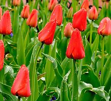 Red Tulip Field, Pearl Street, Boulder by Gregg Lowrimore