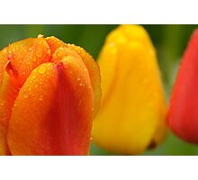 Red and Yellow Tulips, Dew on Pearl Street, Boulder Photographic Print