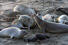 Elephant Seal Colony by CarolM
