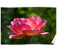Rose Poster