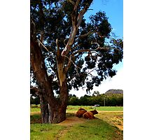 It's as simple as cows under a tree. Photographic Print